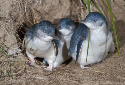 A sziget, ahol hősies juhászkutyák vigyáznak apró pingvinekre