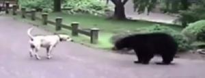 Elüldözte a medvét a család bátor labradora (videó)