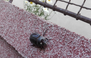 A szarvasbogár is szereti a friss nyári reggeleket (videó)