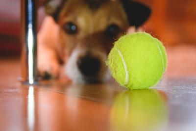 Ezért ne engedd a kutyádnak, hogy teniszlabdával játsszon!