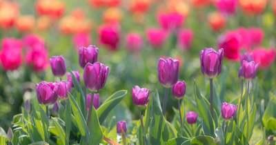 Április közepén indul a tulipánszüret a Balatonnál