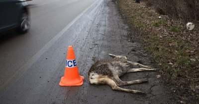 Tanácsokat ad megyénk rendőrsége a vadbalesetek elkerüléséhez