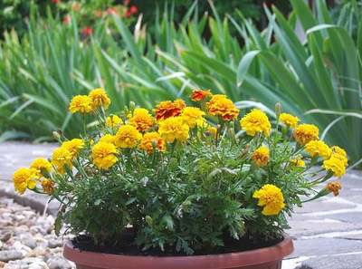 Ez az igénytelen virág megmenti a kertedet, minél előbb ültesd el