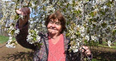 Virágba borult az ország cseresznyéskertje Nagykörűben