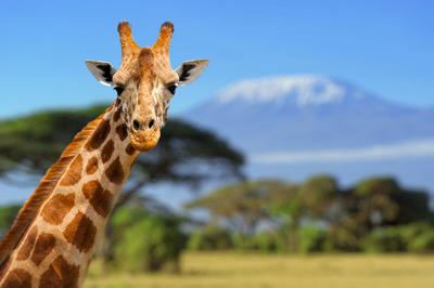 Így nézne ki Miley Cyrus zsiráfként - 22 állati sztárhasonmás