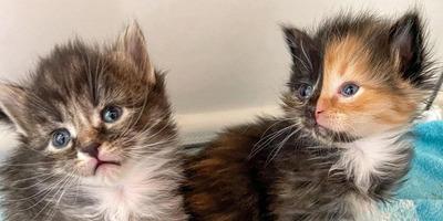 Imádja az internet a tökéletesen szimmetrikus mintázatú cicát - fotók