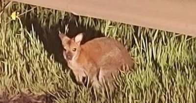 Egy kenguru kószál Orosházán