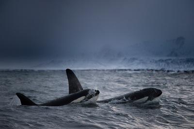 Óceáni horror: 70  kardszárnyú delfin támadt  rá egy kék bálnára - videó