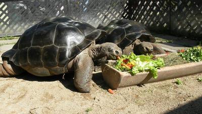 Elpusztult a klagenfurti hüllőkert 160 éves galápagosi óriásteknőse