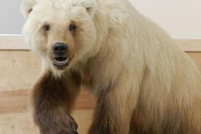 Egyre nagyobb területen terjednek a jegesmedve-grizzly hibridek