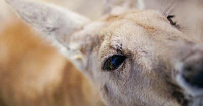 Fiatalok fogták be a szökött kengurut