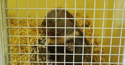 Szabadon kószáló tarajos sült fogtak be a Fertő-Hanság Nemzeti Parkban, a győri állatkertbe vitték – videó, fotók
