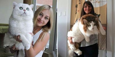 Nem minden cica törékeny! Óriási macskákat mutatunk, amik egy kutya méreteivel rendelkeznek - Galéria