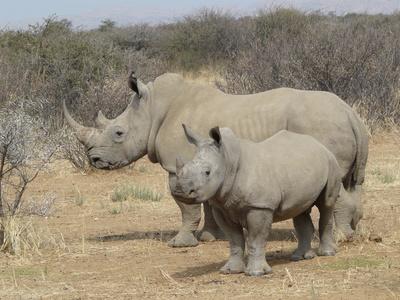 Gyarapszik a szélesszájú orrszarvúk populációja Dél-Afrikában