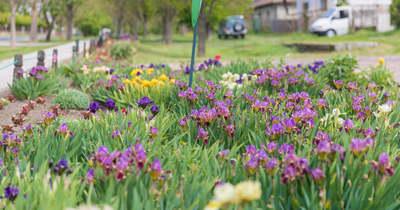 Egész Rácalmás tavaszi virágpompában ragyog