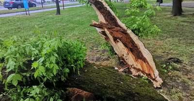 Hatalmas robajjal dőlt egy fa a kerékpárútra Halason