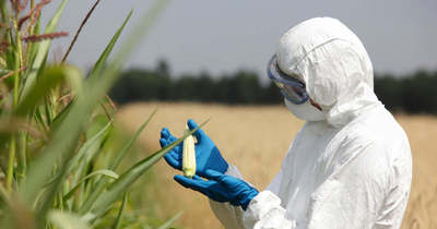 Szabad utat nyitna a GMO-k előtt a DK és a Momentum