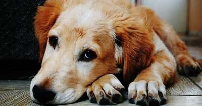 A hűséges kutya két hétig őrizte koronavírusban elhunyt gazdája otthonát