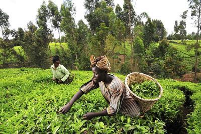 Így hat a klímaváltozás a kenyai teatermelésre