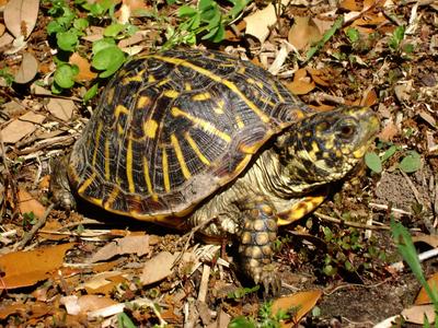Kutyákkal keresik egy veszélyeztetett teknősfaj egyedeit