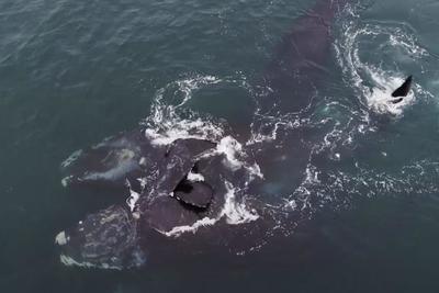 Ölelkező bálnákat vettek videóra