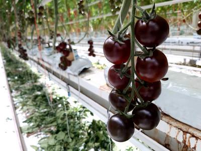 Sötétlila színű paradicsom jelenik meg a hazai kereskedésekben