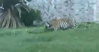 Abszurd, de igaz történet: tigrissel menekült a gyilkossággal vádolt Victor Hugo – Videó!