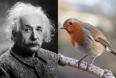 Einstein kísérteties távolhatása, és a vörösbegy