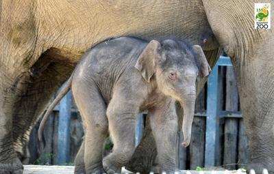 Samunak keresztelték a városligeti állatkert kiselefántját