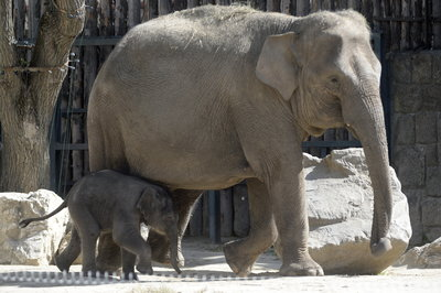 Megvan a budapesti állatkert kiselefántjának a neve