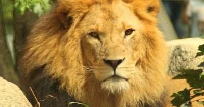 Megdöbbentő képsorok: óriási oroszlánok repültek Afrika felett – Videó