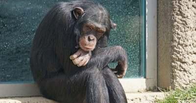 Horror: letépte egy nő arcát a megvadult házicsimpánz – Videó