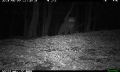 Medve jár a Börzsönyben, lefényképezték - fotó