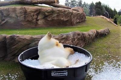 Így örül a jéggel teli dézsának Nora, az örökbefogadott jegesmedve