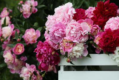 Így lesz sokáig gyönyörű a pünkösdi rózsa