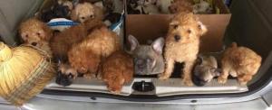 Harmincegy kiskutyát zsúfolt a csomagtartóba egy olasz csempész