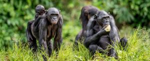 Bábáskodnak társaik szülésénél a nőstény bonobók