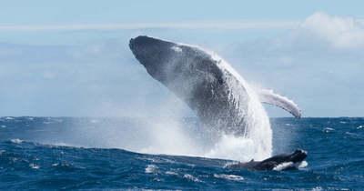 Horror! Egy méretes bálna egészben nyelt le egy búvárt