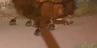 Csatornába esett kiskacsákat mentettek a közútkezelők - videó