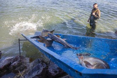 Elképesztő agrársiker, mostantól uniós oltalmat jelent a balatoni hal elnevezés