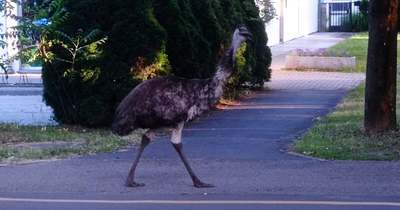Emu kószál Békéscsabán