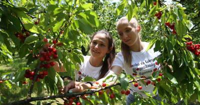 Kései a szüretkezdés a somogyi cseresznyéskertekben