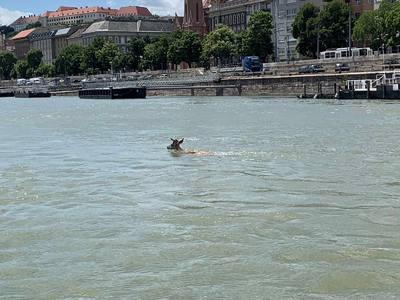 Gímszarvas úszott a Dunában Budapesten