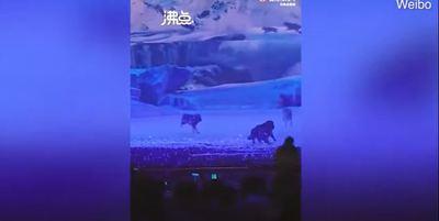 Elszabadultak a farkasok egy színházi előadáson Kínában