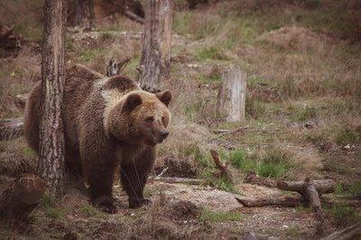 Horror Erdélyben: szinte feldarabolt egy pásztort egy medve Erdélyben