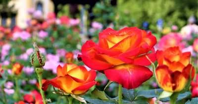 Egerszeg rózsái