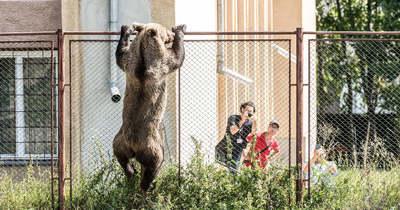 Állandósult a medveveszély Székelyföldön, újabb támadás történt