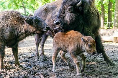 Bölények születtek a Nyíregyházi Állatparkban - videó