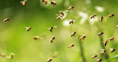 Elszabadult méhrajt kaptak lencsevégre Békéscsabán