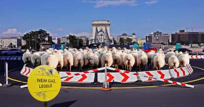 Méhlegelők után juhlegelők! Ez a véleményük a budapestieknek Karácsony őrült ötletéről